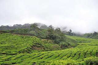 cameron highlands- malaisie 25