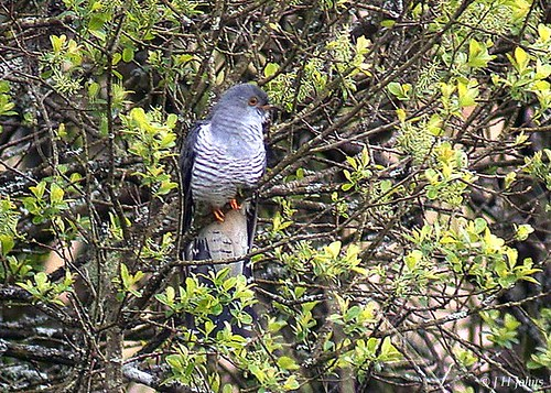"Cuckoo (J H Johns) • <a style=""font-size:0.8em;"" href=""http://www.flickr.com/photos/30837261@N07/10723060194/"" target=""_blank"">View on Flickr</a>"