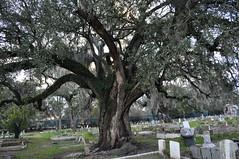 Holt- Oak tree w sweets