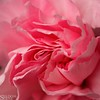"""A carnation for Mom • <a style=""""font-size:0.8em;"""" href=""""http://www.flickr.com/photos/24419989@N07/8734000802/"""" target=""""_blank"""">View on Flickr</a>"""