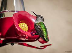 """Green Backed Hummingbird • <a style=""""font-size:0.8em;"""" href=""""http://www.flickr.com/photos/41711332@N00/8750310023/"""" target=""""_blank"""">View on Flickr</a>"""