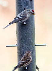 Common (Mealy) and Lesser Redpoll