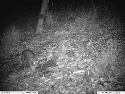 """Potoroo • <a style=""""font-size:0.8em;"""" href=""""http://www.flickr.com/photos/126318089@N05/15935113513/"""" target=""""_blank"""">View on Flickr</a>"""