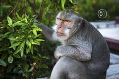 A monkey sits watching in Uluwatu.