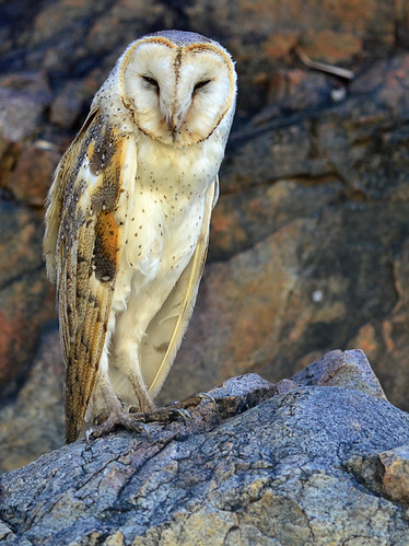 """Barn Owl - Standley Chasm - NT • <a style=""""font-size:0.8em;"""" href=""""http://www.flickr.com/photos/95790921@N07/8745690349/"""" target=""""_blank"""">View on Flickr</a>"""