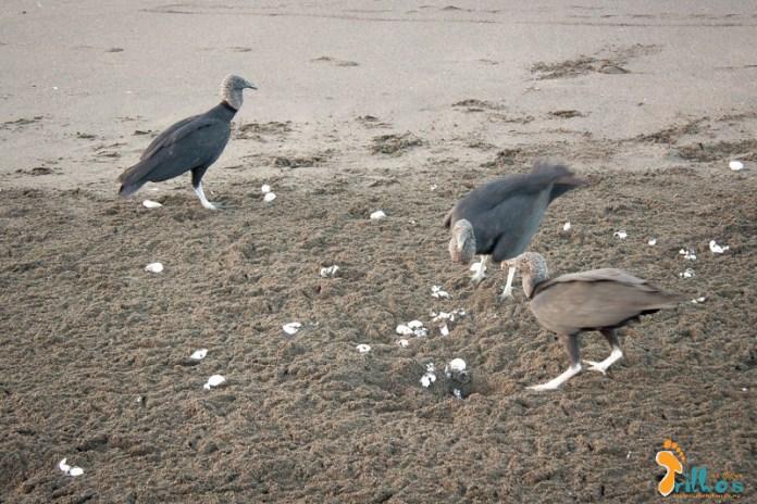 em busca das tartarugas na costa rica - Zopilotes