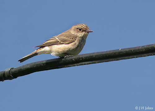 "Spotted Flycatcher (J H Johns) • <a style=""font-size:0.8em;"" href=""http://www.flickr.com/photos/30837261@N07/10723054435/"" target=""_blank"">View on Flickr</a>"