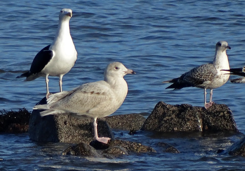 "Glaucous Gull, Newlyn, 19.01.14 (G.Hobin) • <a style=""font-size:0.8em;"" href=""http://www.flickr.com/photos/30837261@N07/12117166226/"" target=""_blank"">View on Flickr</a>"