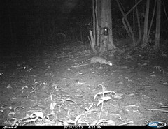 "small indian civet2 BK-14 • <a style=""font-size:0.8em;"" href=""http://www.flickr.com/photos/109145777@N03/13794548353/"" target=""_blank"">View on Flickr</a>"