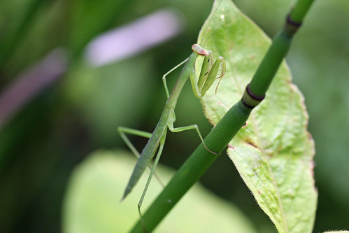 自然環境保全センターのオオカマキリ(幼虫)(Mantis lava, Nature Environment Preservation Center, Kanagawa, Japan)