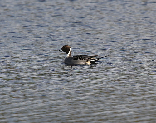 "Pintail, Stithians, 22.01.14 (D.King) • <a style=""font-size:0.8em;"" href=""http://www.flickr.com/photos/30837261@N07/12149867826/"" target=""_blank"">View on Flickr</a>"