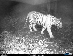 """Tiger- Camera trap picture from Shendurney Widlife Sanctuary • <a style=""""font-size:0.8em;"""" href=""""http://www.flickr.com/photos/109145777@N03/13794537823/"""" target=""""_blank"""">View on Flickr</a>"""