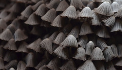 "Mushroom_Koovachal_Shendurney-Wildlife-Sanctuary_-17-November-2013 • <a style=""font-size:0.8em;"" href=""http://www.flickr.com/photos/109145777@N03/13933238545/"" target=""_blank"">View on Flickr</a>"