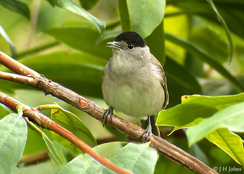 "Blackcap (J H Johns) • <a style=""font-size:0.8em;"" href=""http://www.flickr.com/photos/30837261@N07/10723134784/"" target=""_blank"">View on Flickr</a>"