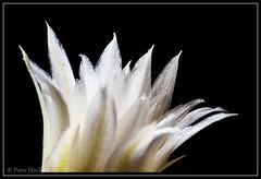 "Kaktusblüte • <a style=""font-size:0.8em;"" href=""http://www.flickr.com/photos/58574596@N06/8767425212/"" target=""_blank"">View on Flickr</a>"