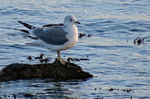 """Common Gull, Newlyn, 19.01.14 (G.Hobin) • <a style=""""font-size:0.8em;"""" href=""""http://www.flickr.com/photos/30837261@N07/12117156696/"""" target=""""_blank"""">View on Flickr</a>"""
