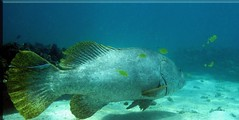 QLD GROUPER