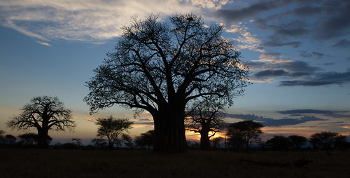 "safari tanzania Tarangire • <a style=""font-size:0.8em;"" href=""http://www.flickr.com/photos/113706807@N08/11904807605/"" target=""_blank"">View on Flickr</a>"