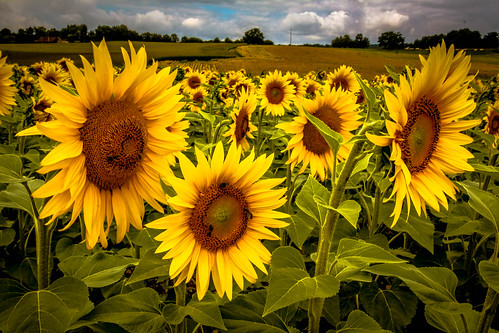 "Sonnenblumen - Extrembearbeitung • <a style=""font-size:0.8em;"" href=""http://www.flickr.com/photos/91404501@N08/27420006302/"" target=""_blank"">View on Flickr</a>"