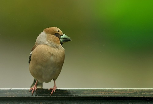 """Hawfinch, St Just, 30.04.14 (S.Williams) • <a style=""""font-size:0.8em;"""" href=""""http://www.flickr.com/photos/30837261@N07/13892831727/"""" target=""""_blank"""">View on Flickr</a>"""