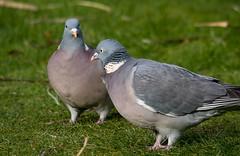 Two woodpigeons