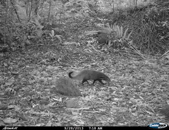 """stripe-necked mongoose1 BK-29 • <a style=""""font-size:0.8em;"""" href=""""http://www.flickr.com/photos/109145777@N03/13794868354/"""" target=""""_blank"""">View on Flickr</a>"""