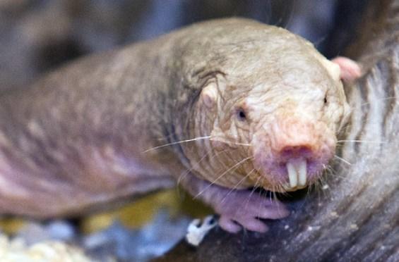 Image result for Naked-Mole Rat