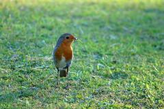 Robin_3