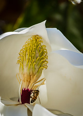 """Southern Magnolia with a visitor... • <a style=""""font-size:0.8em;"""" href=""""http://www.flickr.com/photos/41711332@N00/8796511887/"""" target=""""_blank"""">View on Flickr</a>"""