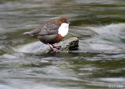 "Dipper (J H Johns) • <a style=""font-size:0.8em;"" href=""http://www.flickr.com/photos/30837261@N07/10723332404/"" target=""_blank"">View on Flickr</a>"