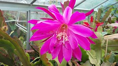 "Epiphyllum cv. Daisy Dean • <a style=""font-size:0.8em;"" href=""http://www.flickr.com/photos/131160446@N02/27574881911/"" target=""_blank"">View on Flickr</a>"