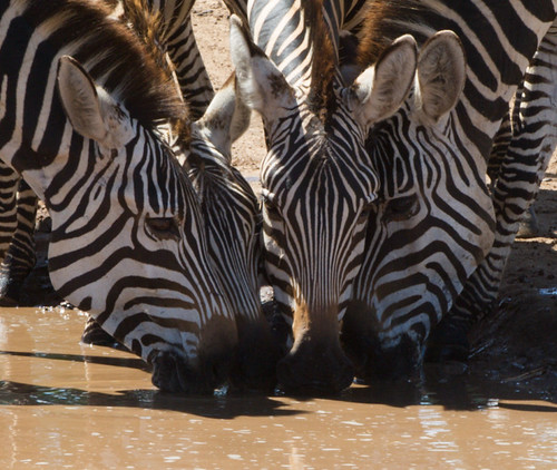 "safari tanzania • <a style=""font-size:0.8em;"" href=""http://www.flickr.com/photos/113706807@N08/11905650976/"" target=""_blank"">View on Flickr</a>"