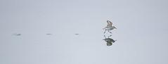 Western Sandpiper | tundrasnäppa | Calidris mauri