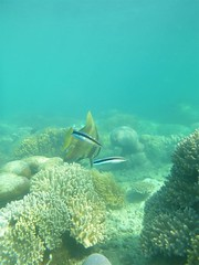 cleaner wrasse and bat fish