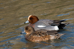 Pair of Wigeon