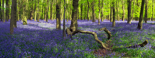 Bluebells in Crawley Wood, Ashridge Forest, UK | The Flowering English Countryside