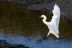 Little Egret landing