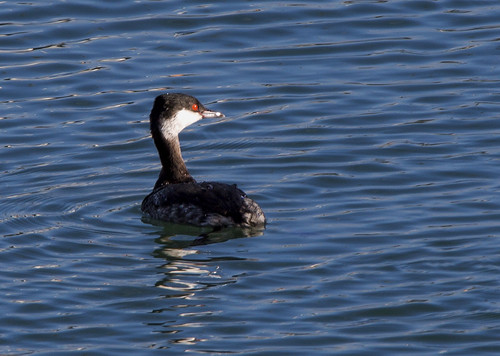 "Slav Grebe, Newlyn, 18.01.15 (G.Hobin) • <a style=""font-size:0.8em;"" href=""http://www.flickr.com/photos/30837261@N07/16345313321/"" target=""_blank"">View on Flickr</a>"