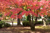 Photo:Maple Tree By