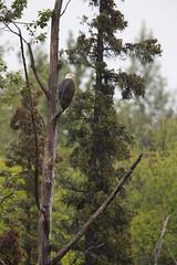 Bald Eagle | vithövdad havsörn | Haliaeetus leucocephalus