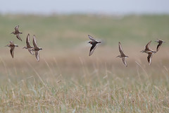 Several shorebird species in flight.