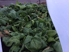 """Ahh! The spinach lives! <a style=""""margin-left:10px; font-size:0.8em;"""" href=""""http://www.flickr.com/photos/91024182@N04/15895887990/"""" target=""""_blank"""">@flickr</a>"""