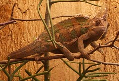 "Das Chamaeleon • <a style=""font-size:0.8em;"" href=""http://www.flickr.com/photos/42554185@N00/15513547639/"" target=""_blank"">View on Flickr</a>"