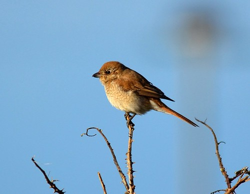 """Isabelline Shrike, Pendeen, 12.11.14 (J.Rowe) • <a style=""""font-size:0.8em;"""" href=""""http://www.flickr.com/photos/30837261@N07/15594700680/"""" target=""""_blank"""">View on Flickr</a>"""