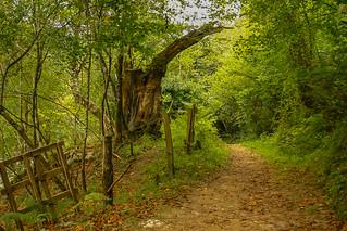 Bosque en Picos de Europa - Asturias
