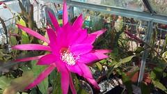 "Epiphyllum cv. Pfau • <a style=""font-size:0.8em;"" href=""http://www.flickr.com/photos/131160446@N02/27038842713/"" target=""_blank"">View on Flickr</a>"
