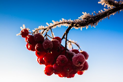 blue winter red sky cold color ice nature beauty outdoors berry frost day branch image space air scenic bunch copyspace rowan copy idyllic in colorimage beautyinnature 500px cloudspace matkaniva