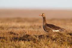 Greater White-fronted Goose   bläsgås   Anser albifrons