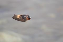 American Cliff Swallow | stensvala | Petrochelidon pyrrhonota
