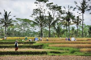 bali nord - indonesie 41